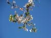 Kirschblüten im Garten