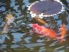 Die Goldfische im Gartendeich
