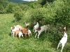 Die Ziegenherde
